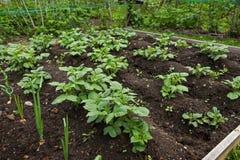 Органические заводы картошки в саде Стоковая Фотография