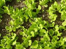 Органические заводы салата сада Стоковые Изображения