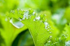 Органические зеленые цвета мустарда Стоковые Фотографии RF