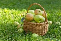 Органические зеленые яблоки в плетеной корзине на зеленой траве стоковые фото