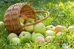 Органические зеленые яблоки разлили от корзины на траве Стоковые Фотографии RF