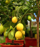 Органические лимоны на дереве в баке Стоковая Фотография