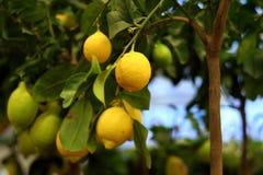 Органические лимоны на дереве в баке Стоковое Изображение