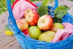 Органические красные яблоки в корзине напольной сад Сад осени Стоковые Фотографии RF