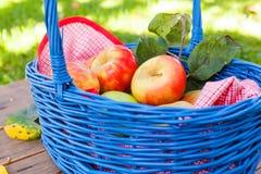 Органические красные яблоки в корзине напольной сад Сад осени Стоковая Фотография