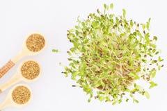 Органические ростки альфальфы - люцерны sativa стоковое изображение rf