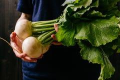 Органические свежие сжатые овощи ` S фермера вручает держать свежий турнепс, крупный план стоковое фото