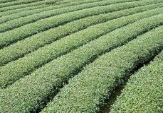 Органические строки чая местного чая обрабатывают землю Стоковое Изображение RF