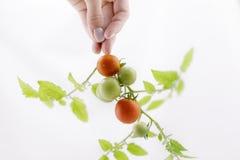 Органические томаты вишни на стержне на изолированной предпосылке Стоковое Изображение RF