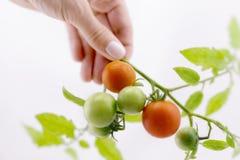 Органические томаты вишни на стержне на изолированной предпосылке Стоковое фото RF