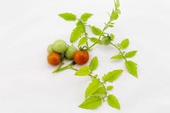 Органические томаты вишни на стержне на изолированной предпосылке Стоковая Фотография RF