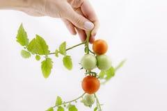 Органические томаты вишни на стержне на изолированной предпосылке Стоковые Фото
