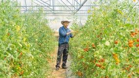 Органические томаты в ее саде стоковая фотография rf