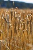 Органические уши пшеницы в поле Стоковые Фото