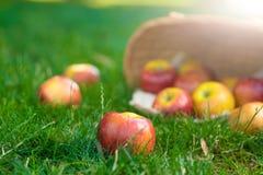 Органические яблоки в корзине в траве лета Свежие яблоки в природе стоковое изображение