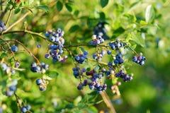 Органические ягоды голубики зрея на кустах в саде Стоковое Изображение