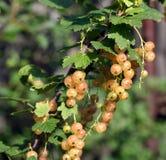 Органические ягоды - белая смородина Стоковая Фотография RF