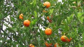 Органические Tangerines видеоматериал