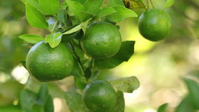 Органические Tangerines сток-видео