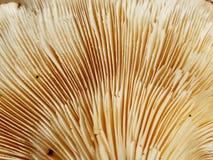 Органический гриб шиитаке - близкое поднимающее вверх стоковая фотография