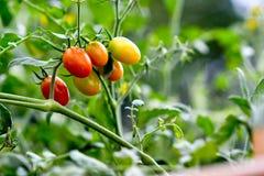 Органический завод томатов вишни стоковое фото