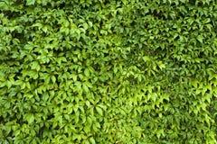 Органический зеленый цвет выходит текстура Стоковая Фотография