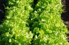 Органический зеленый курчавый салат в саде Стоковое Изображение RF