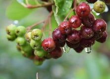 Органический неполовозрелый конец ягоды Aronia вверх стоковые изображения