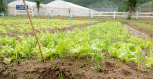Органический овощ, расти свежего младенца красный и зеленый дуба салата салата Стоковые Изображения RF