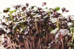 Органический растя micro зеленеет крупный план Стоковые Изображения RF
