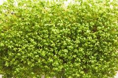 Органический растя micro зеленеет крупный план Стоковое Изображение RF