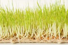 Органический растя micro зеленеет крупный план Стоковое Изображение