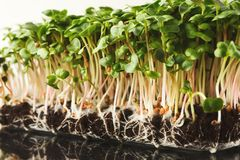 Органический растя micro зеленеет крупный план Стоковые Изображения