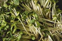 Органический растя micro зеленеет крупный план Стоковая Фотография RF