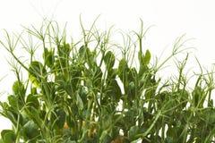 Органический растя micro зеленеет крупный план Стоковые Фотографии RF
