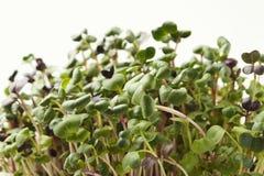 Органический растя micro зеленеет крупный план Стоковая Фотография
