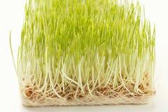 Органический растя micro зеленеет крупный план Стоковое Фото