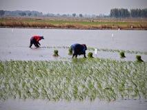 Органический рис засаживая в Таиланде Стоковые Изображения RF
