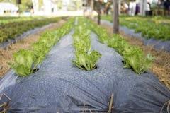 Органический сад салата айсберга в Таиланде Стоковая Фотография