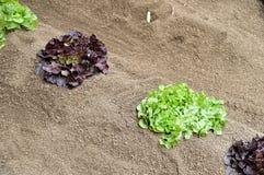 Органический сад с салатами лист дуба Стоковые Изображения RF