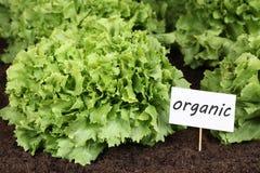 Органический салат в огороде стоковая фотография
