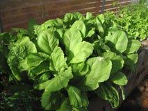 Органический салат мустарда в парнике Стоковая Фотография RF