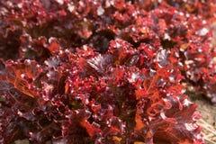 Органический салат овощей Красный коралл в саде задворк Стоковое Изображение