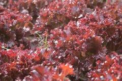 Органический салат овощей Красный коралл в саде задворк Стоковое фото RF