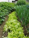 Органический салат сада Стоковая Фотография