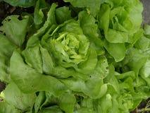 Органический салат сада Стоковое Фото