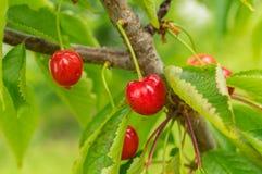 Органический сад сладостных вишен весной Стоковые Изображения RF