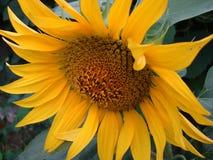 Органический солнцецвет Стоковые Фото