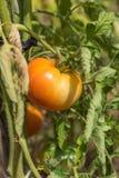 органический томат Стоковые Фото