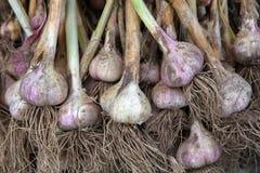 Органический чеснок собрал на экологической ферме на деревенской древесине Стоковые Фотографии RF